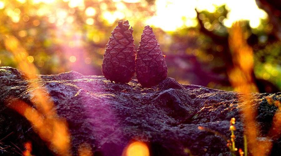 Pinecones in golden light